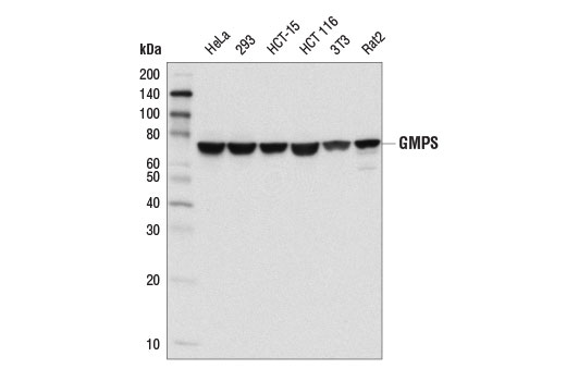 Mouse Gmp Biosynthetic Process