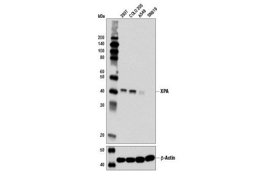 Monoclonal Antibody - XPA (D9U5U) Rabbit mAb - Western Blotting, UniProt ID P23025, Entrez ID 7507 #14607 - Cell Cycle / Checkpoint Control