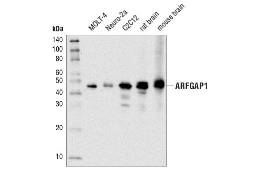 Monoclonal Antibody - ARFGAP1 (D4C2M) Rabbit mAb - Immunoprecipitation, Western Blotting, UniProt ID Q8N6T3, Entrez ID 55738 #14608 - #14608