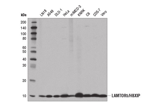 Western blot analysis of extracts from various cell lines using LAMTOR5/HBXIP (D4V4S) Rabbit mAb.