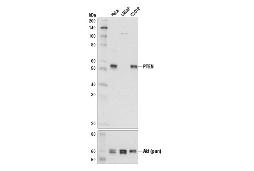 Western blot analysis of extracts from HeLa, LNCaP, and C2C12 cells using PTEN (D3Q6G) Mouse mAb (upper) and Akt (pan) (40D4) Mouse mAb #2920 (lower).