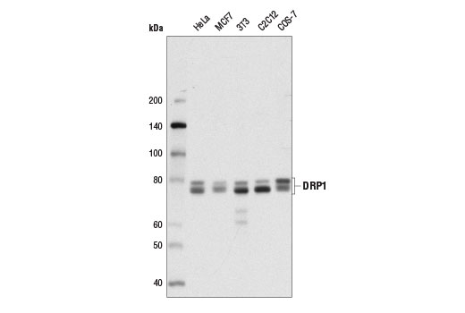 Western blot analysis of extracts from various cell lines using DRP1 (4E11B11) Mouse mAb.