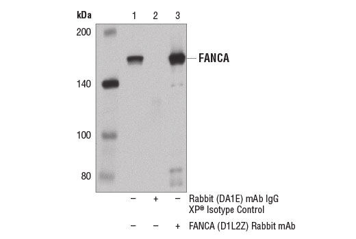 Immunoprecipitation of FANCA from 293T cell extracts using Rabbit (DA1E) mAb IgG XP<sup>®</sup> Isotype Control #3900 (lane 2) or FANCA (D1L2Z) Rabbit mAb (lane 3). Lane 1 is 10% input. Western blot was performed using FANCA (D1L2Z) Rabbit mAb.
