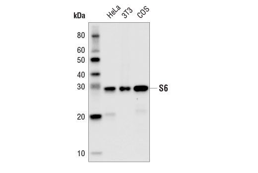 Western blot analysis of extracts from HeLa, 3T3, and COS cells using S6 Ribosomal Protein (54D2) Mouse mAb (HRP Conjugate).