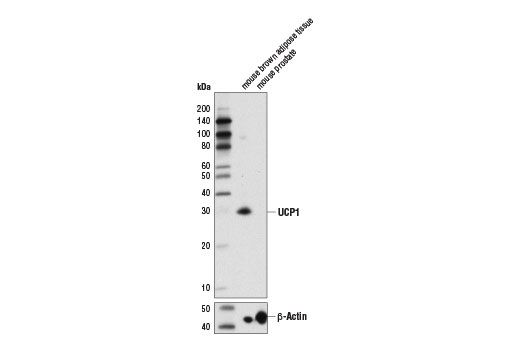 Western blot analysis of extracts from mouse brown adipose tissue (positive) and mouse prostate (negative) using UCP1 (D9D6X) Rabbit mAb (upper) and β-Actin (D6A8) Rabbit mAb #8457 (lower).