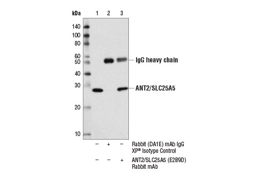 Immunoprecipitation of ANT2/SLC25A5 from MCF7 cell extracts using Rabbit (DA1E) mAb IgG XP<sup>®</sup> Isotype Control #3900 (lane 2) or ANT2/SLC25A5 (E2B9D) Rabbit mAb (lane 3). Lane 1 is 10% input. Western blot analysis was performed using ANT2/SLC25A5 (E2B9D) Rabbit mAb.