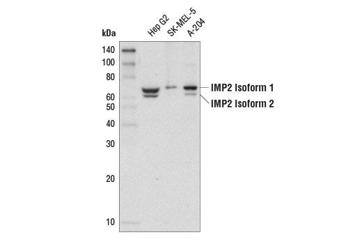 Monoclonal Antibody - IMP2(D4R2F) Rabbit mAb - Western Blotting, UniProt ID Q9Y6M1, Entrez ID 10644 #14672, Protein Translation