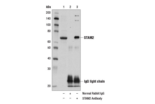 Immunoprecipitation of STAM2 from 293T cell extracts using Normal Rabbit IgG #2729 (lane 2) or STAM2 Antibody (lane 3). Lane 1 is 10% input. Western blot was performed using STAM2 Antibody.