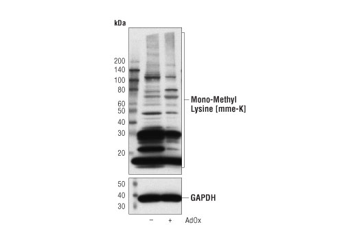Western blot analysis of MCF7 cells, untreated (-) or treated with adenosine-2',3'-dialdehyde (AdOx, 100 μM, 24 hr; +), using Mono-Methyl Lysine [mme-K] MultiMab™ Rabbit mAb mix (upper), and GAPDH (D61H11) XP<sup>®</sup> Rabbit mAb #5174 (lower).