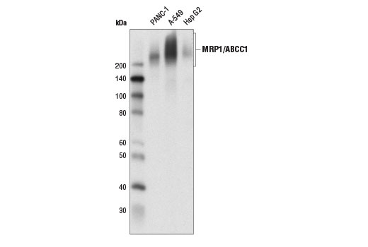 Western blot analysis of extracts from A-549, PANC-1, and Hep G2 cells using MRP1/ABCC1 (D7O8N) Rabbit mAb.