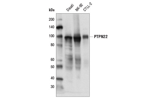 Western blot analysis of extracts from various cell lines using PTPN22 (D6D1H) Rabbit mAb.