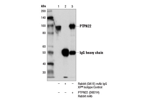 Immunoprecipitation of PTPN22 from Daudi cell extracts using Rabbit (DA1E) mAb IgG XP<sup>®</sup> Isotype Control #3900 (lane 2) or PTPN22 (D6D1H) Rabbit mAb (lane 3). Lane 1 is 10% input. Western blot analysis was performed using PTPN22 (D6D1H) Rabbit mAb.