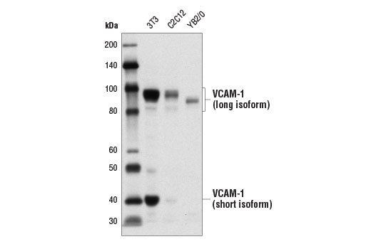 Western blot analysis of extracts from 3T3, C2C12, and YB2/0 cells using VCAM-1 Antibody (Rodent Specific).