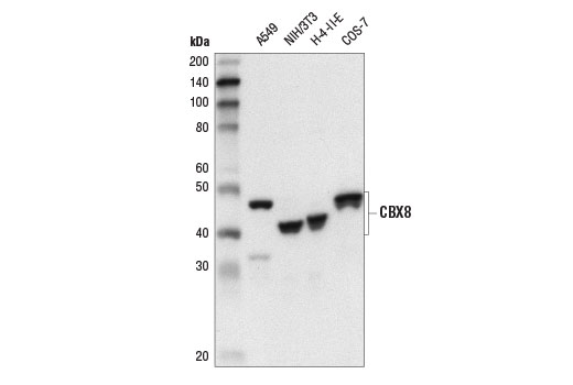 Western blot analysis of extracts from various cell lines using CBX8 (D2O8C) Rabbit mAb.