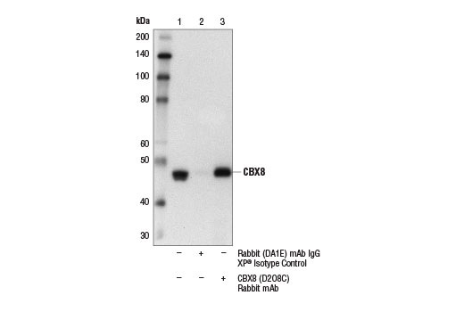 Immunoprecipitation of CBX8 from A549 cell extracts. Lane 1 is 10% input, lane 2 is Rabbit (DA1E) mAb IgG XP<sup>®</sup> Isotype Control #3900, and lane 3 is CBX8 (D2O8C) Rabbit mAb. Western blot analysis was performed using CBX8 (D2O8C) Rabbit mAb.