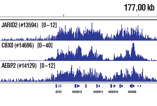 Chromatin immunoprecipitations were performed with cross-linked chromatin from NCCIT cells and either JARID2 (D6M9X) Rabbit mAb #13594, CBX8 (D2O8C) Rabbit mAb, or AEBP2 (D7C6X) Rabbit mAb #14129, using SimpleChIP<sup>®</sup> Plus Enzymatic Chromatin IP Kit (Magnetic Beads) #9005. DNA Libraries were prepared using SimpleChIP<sup>®</sup> ChIP-seq DNA Library Prep Kit for Illumina<sup>®</sup> #56795. All of JARID2, CBX8, and AEBP2 are known to associate with PRC complexes. The figure shows binding of JARID2, CBX8, and AEBP2 across HOXD gene region, known target genes of JARID2, CBX8, and AEBP2 (see additional figure containing ChIP-qPCR data). For additional ChIP-seq tracks, please download the product data sheet.