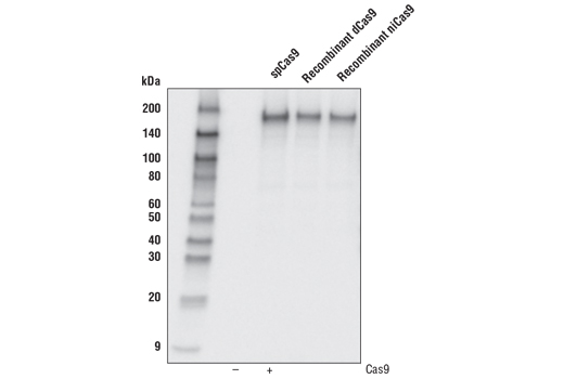 Monoclonal Antibody - Cas9 (7A9-3A3) Mouse mAb, UniProt ID Q99ZW2, Entrez ID 901176 #14697 - Primary Antibodies