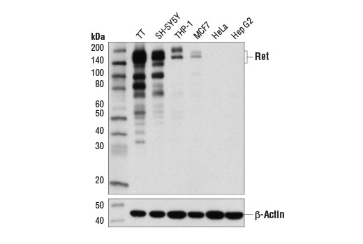 Western blot analysis of extracts from various cell lines using Ret (D3D8R) Rabbit mAb (upper) and β-Actin (D6A8) Rabbit mAb #8457 (lower).