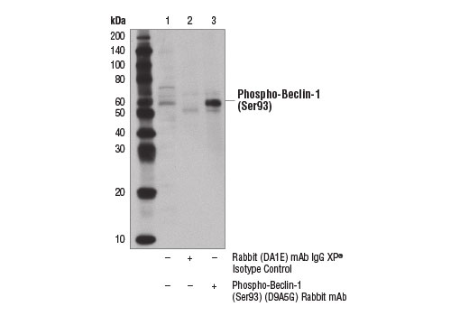 Immunoprecipitation of phospho-Beclin-1 (Ser93) from carbonyl cyanide 3-chlorophenyldydrazone (CCCP)-treated KARPAS-299 cells (100 μM, 2 hr) using Rabbit (DA1E) mAb IgG XP<sup>®</sup> Isotype Control #3900 (lane 2) or Phospho-Beclin-1 (Ser93) (D9A5G) Rabbit mAb (lane 3). Lane 1 is 10% input. Western blot was performed using Phospho-Beclin-1 (Ser93) (D9A5G) Rabbit mAb. Mouse Anti-rabbit IgG (Conformation Specific) (L27A9) mAb #3678 was used as a secondary antibody to avoid cross reactivity with IgG heavy chain. Cell line source: Dr Abraham Karpas at the University of Cambridge.
