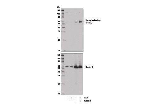 Western blot analysis of extracts from 293T cells, untreated (-) or treated with carbonyl cyanide 3-chlorophenylhydrazone (CCCP, 100 μM, 2 hr; +) and mock transfected (-) or transfected with a construct expressing full-length human Beclin-1 (hBeclin-1; +), using Phospho-Beclin-1 (Ser93) (D9A5G) Rabbit mAb (upper) and Beclin-1 (D40C5) Rabbit mAb #3495 (lower).