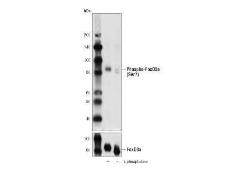 Polyclonal Antibody - Phospho-FoxO3a (Ser7) Antibody - Western Blotting, UniProt ID O43524, Entrez ID 2309 #14724 - Primary Antibodies