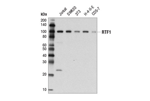 Western blot analysis of extracts from various cell lines using RTF1 (D7V3W) Rabbit mAb.