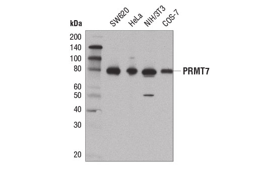 Western blot analysis of extracts from various cell lines using PRMT7 (D1K6R) Rabbit mAb.