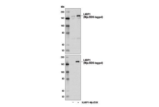 Polyclonal Antibody - LARP1 Antibody - Western Blotting, UniProt ID Q6PKG0, Entrez ID 23367 #14763, Larp