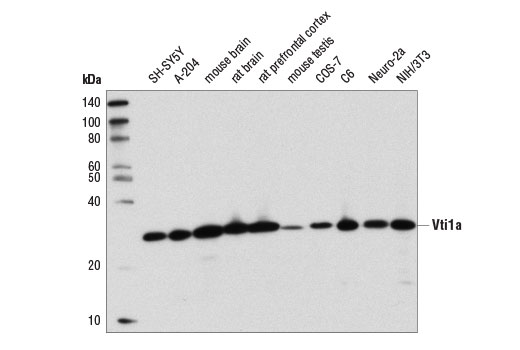 Western blot analysis of extracts from various cell lines and tissues using Vti1a (D8U3M) Rabbit mAb.