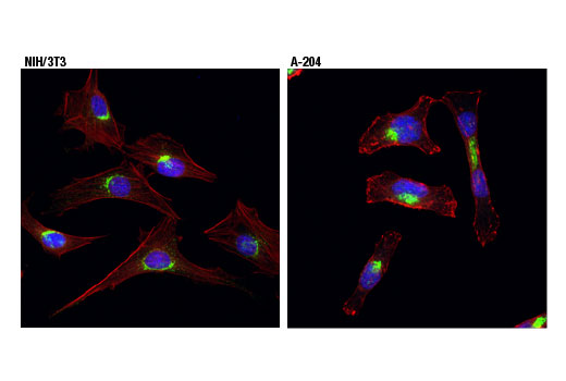 Confocal immunofluorescent analysis of NIH/3T3 (left) and A-204 (right) cells using Vti1a (D8U3M) Rabbit mAb (green). Actin filaments were labeled with DyLight™ 554 Phalloidin #13054 (red). Pseudocolor blue = DRAQ5<sup>®</sup> #4084 (fluorescent DNA dye).