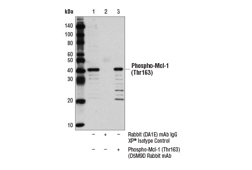 Immunoprecipitation of phospho-Mcl-1 (Thr163) from KARPAS-299 cells treated with TPA #4174 (200 nM, 30 min) using Rabbit (DA1E) mAb IgG XP<sup>®</sup> Isotype Control #3900 (lane 2) or Phospho-Mcl-1 (Thr163) (D5M9D) Rabbit mAb (lane 3). Lane 1 represents 10% input. Western blot was perform using Phospho-Mcl-1 (Thr163) (D5M9D) Rabbit mAb. Mouse Anti-rabbit IgG (Conformation Specific) (L27A9) mAb #3678 was used as a secondary antibody to avoid cross reactivity with IgG heavy and light chains. KARPAS cell Line source: Dr Abraham Karpas at the University of Cambridge.