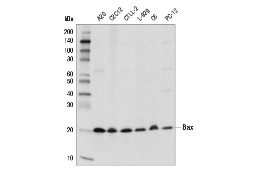 Western blot analysis of extracts from various cell lines using Bax (D3R2M) Rabbit mAb (Rodent Preferred).
