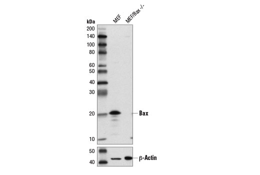 Western blot analysis of extracts from Bax WT MEF and Bax -/- MEF cells using Bax (D3R2M) Rabbit mAb (Rodent Preferred) (upper) and β-Actin (D6A8) Rabbit mAb #8457 (lower). MEF cells are courtesy of Dr. Junying Yuan, of Harvard Medical School, Boston, MA.