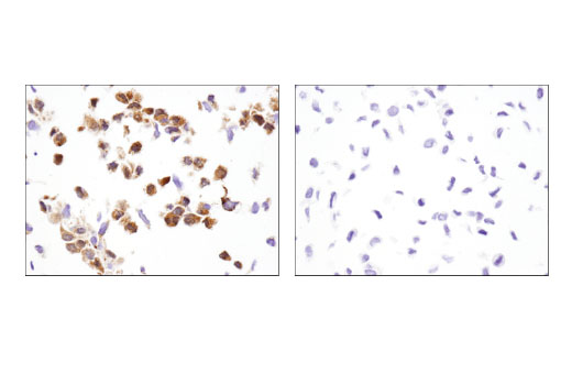 Immunohistochemical analysis of paraffin-embedded Bax WT MEF (left) and Bax -/- MEF (right) cell pellets using Bax (D3R2M) Rabbit mAb (Rodent Preferred). MEF cells are courtesy of Dr. Junying Yuan, of Harvard Medical School, Boston, MA.