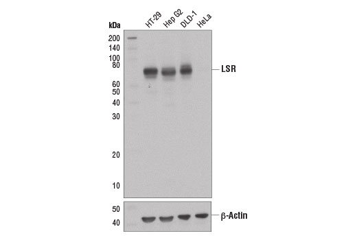 Western blot analysis of extracts from various cell lines using LSR (D3E3N) XP<sup>®</sup> Rabbit mAb (upper) and β-Actin (D6A8) #8457 (lower).