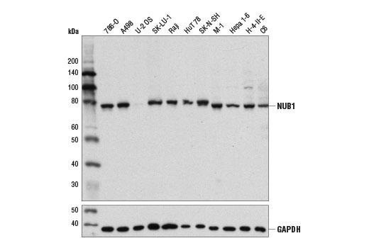Polyclonal Antibody - NUB1 Antibody - Western Blotting, UniProt ID Q9Y5A7, Entrez ID 51667 #14810 - Primary Antibodies