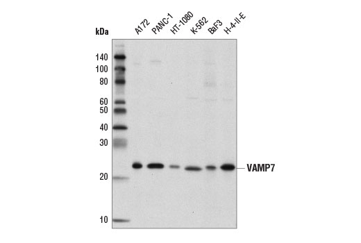 Western blot analysis of extracts from various cell lines using VAMP7 (D4D5J) Rabbit mAb.