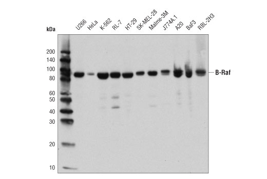 Western blot analysis of extracts from various cell lines using B-Raf (D9T6S) Rabbit mAb.