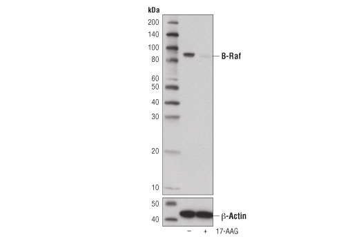 Western blot analysis of extracts from SK-MEL-28 cells, untreated (-) or treated with 17-AAG #8132 (1 μM, 24 hr; +), using B-Raf (D9T6S) Rabbit mAb (upper) or β-Actin (D6A8) Rabbit mAb #8457 (lower).