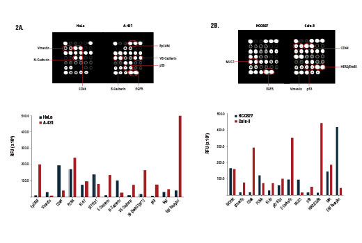 Image 2: PathScan® Cancer Phenotype Antibody Array Kit (Fluorescent Readout)