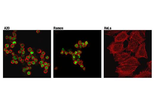 Confocal immunofluorescent analysis of A20 (left), Ramos (middle), and HeLa (right) cells using Ikaros (D6N9Y) Rabbit mAb (green). Actin filaments were labeled with DyLight™ 554 Phalloidin #13054 (red).