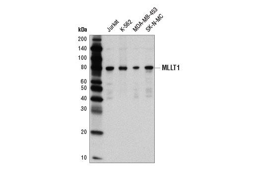 Monoclonal Antibody - MLLT1/ENL (D9M4B) Rabbit mAb - Chromatin IP, Western Blotting, UniProt ID Q03111, Entrez ID 4298 #14893 - Primary Antibodies