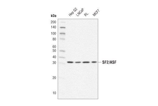 Monoclonal Antibody Rna Splicing - count 20