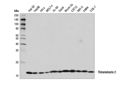 Western blot analysis of extracts from various cell lines using Thioredoxin 2 (D1C9L) Rabbit mAb.