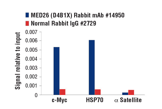 Chromatin immunoprecipitations were performed with cross-linked chromatin from HeLa cells heat shocked for 1 hr and either MED26 (D4B1X) Rabbit mAb or of Normal Rabbit IgG #2729 using SimpleChIP<sup>®</sup> Enzymatic Chromatin IP Kit (Magnetic Beads) #9003. The enriched DNA was quantified by real-time PCR using SimpleChIP<sup>®</sup> Human c-Myc Intron 1 Primers #14905, SimpleChIP<sup>®</sup> Human HSP70 Intron 1 Primers #14023, and SimpleChIP<sup>®</sup> Human α Satellite Repeat Primers #4486. The amount of immunoprecipitated DNA in each sample is represented as signal relative to the total amount of input chromatin, which is equivalent to one.
