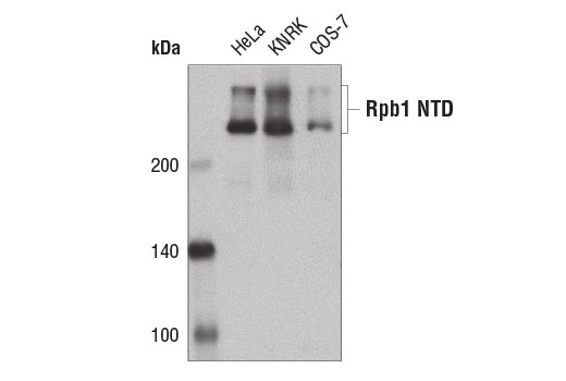 Western blot analysis of extracts from HeLa, KNRK, and COS-7 cells using Rpb1 NTD (D8L4Y) Rabbit mAb.