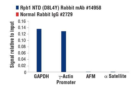 Chromatin immunoprecipitations were performed with cross-linked chromatin from HeLa cells and either Rpb1 NTD (D8L4Y) Rabbit mAb or Normal Rabbit IgG #2729 using SimpleChIP<sup>®</sup> Enzymatic Chromatin IP Kit (Magnetic Beads) #9003. The enriched DNA was quantified by real-time PCR using SimpleChIP<sup>®</sup> Human GAPDH Exon 1 Primers #5516, SimpleChIP<sup>®</sup> Human γ-Actin Promoter Primers #5037, SimpleChIP<sup>®</sup> Human AFM1 Intron 1 Primers #5098, and SimpleChIP<sup>®</sup> Human α Satellite Repeat Primers #4486. The amount of immunoprecipitated DNA in each sample is represented as signal relative to the total amount of input chromatin, which is equivalent to one.