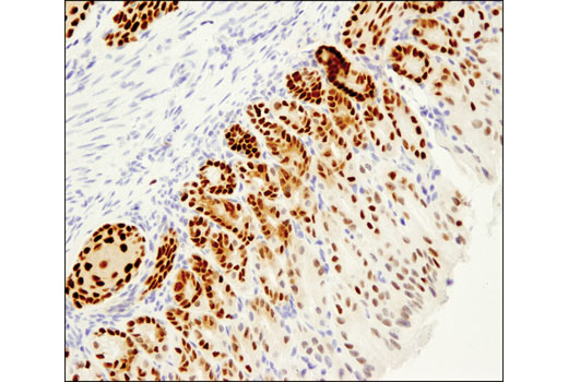 Immunohistochemical analysis of paraffin-embedded mouse forestomach using Sox2 (D1C7J) XP<sup>®</sup> Rabbit mAb.
