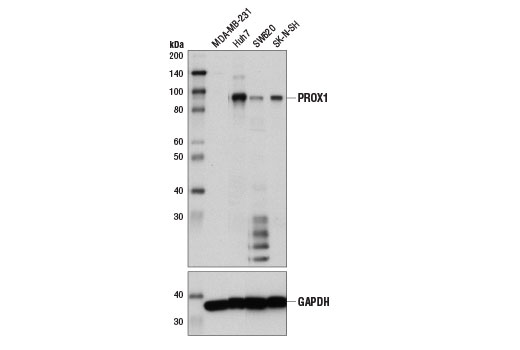 Western blot analysis of extracts from various cell lines using PROX1 (D2J6J) Rabbit mAb (upper) and GAPDH (D16H11) XP<sup>®</sup> Rabbit mAb #5174 (lower). As expected, MDA-MB-231 cells are negative for PROX1 expression.