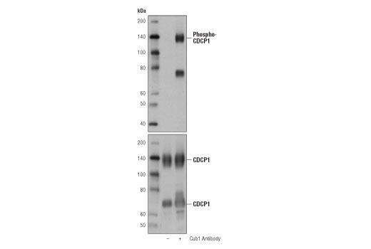 Monoclonal Antibody - Phospho-CDCP1 (Tyr743) (D2G2J) Rabbit mAb, UniProt ID Q9H5V8, Entrez ID 64866 #14965 - Primary Antibodies